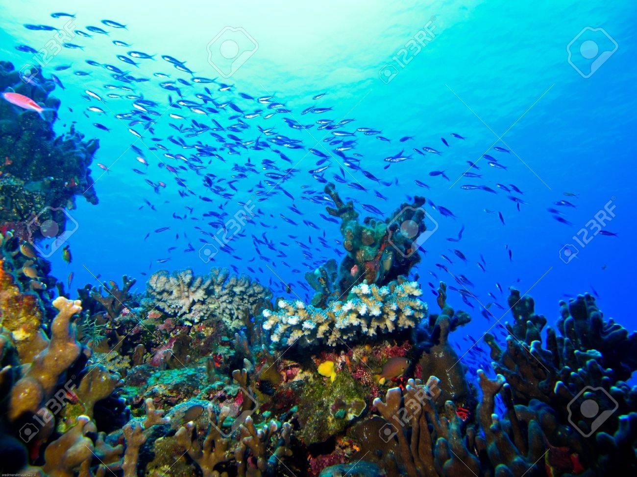 Small fish schooling over healthy reef at Eratoka Island. Stock Photo - 7743144
