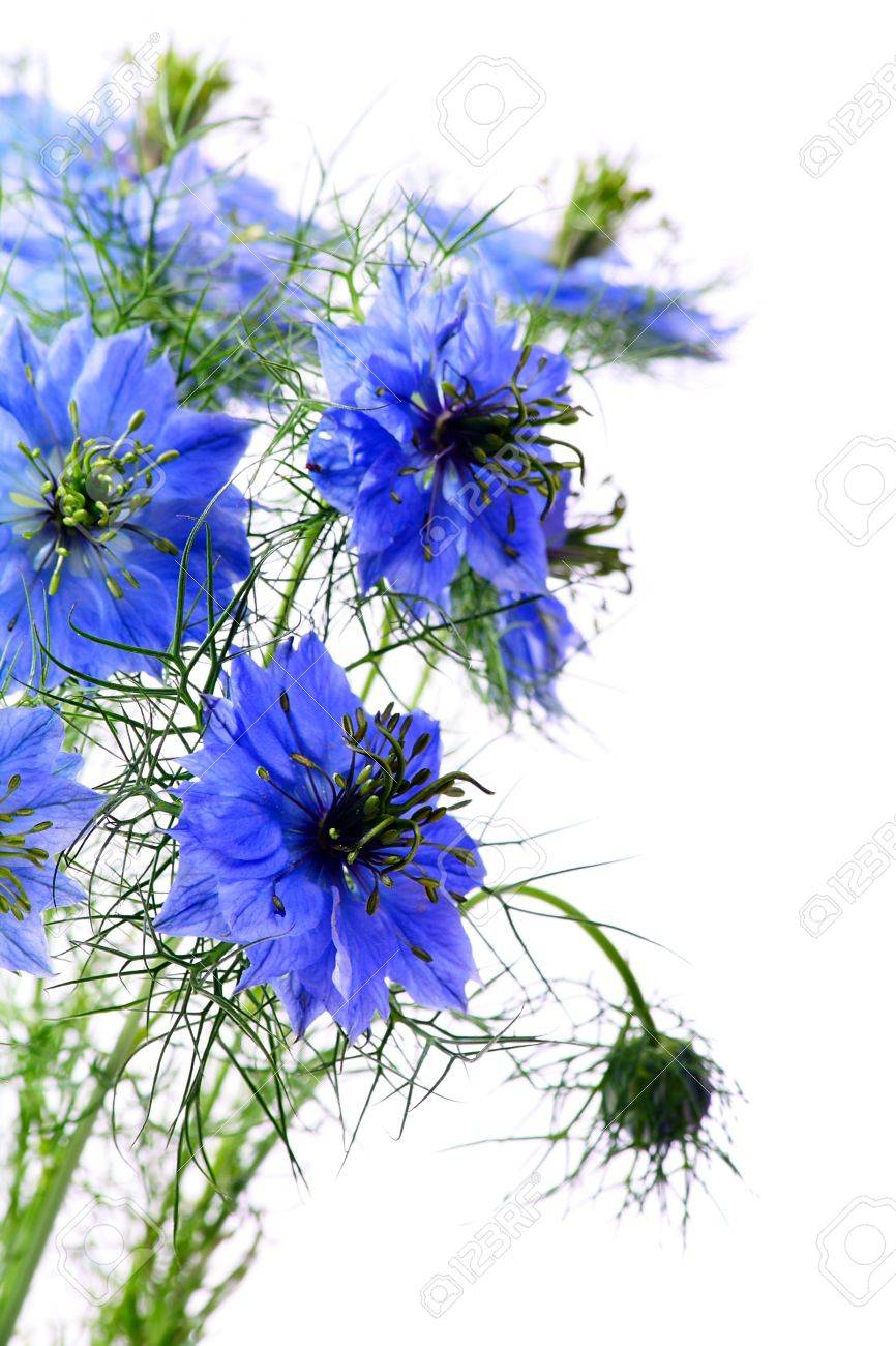 Beautiful blue flowers on a white background stock photo picture beautiful blue flowers on a white background stock photo 9805293 dhlflorist Gallery