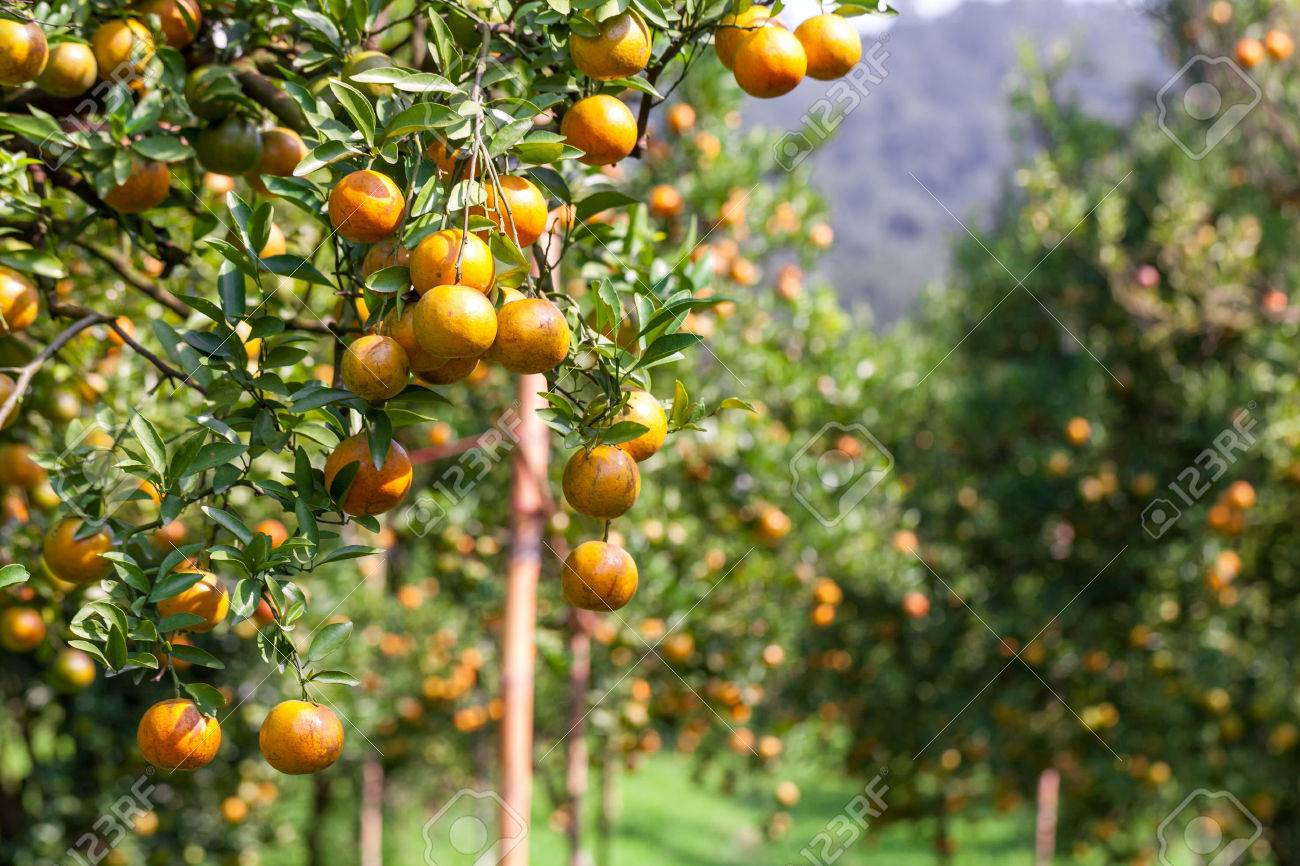 fresh orange on plant, orange tree - 24933348