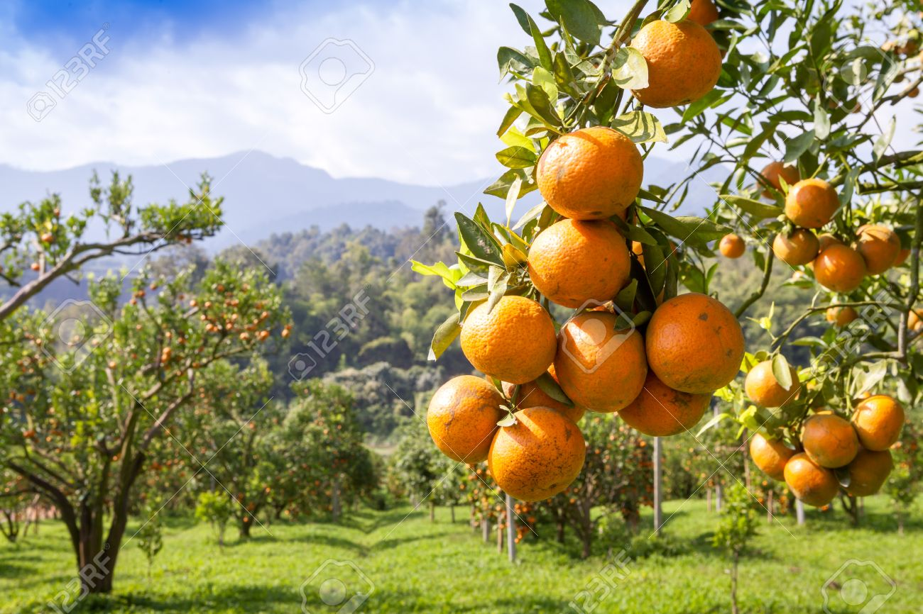 fresh orange on plant, orange tree - 25276774