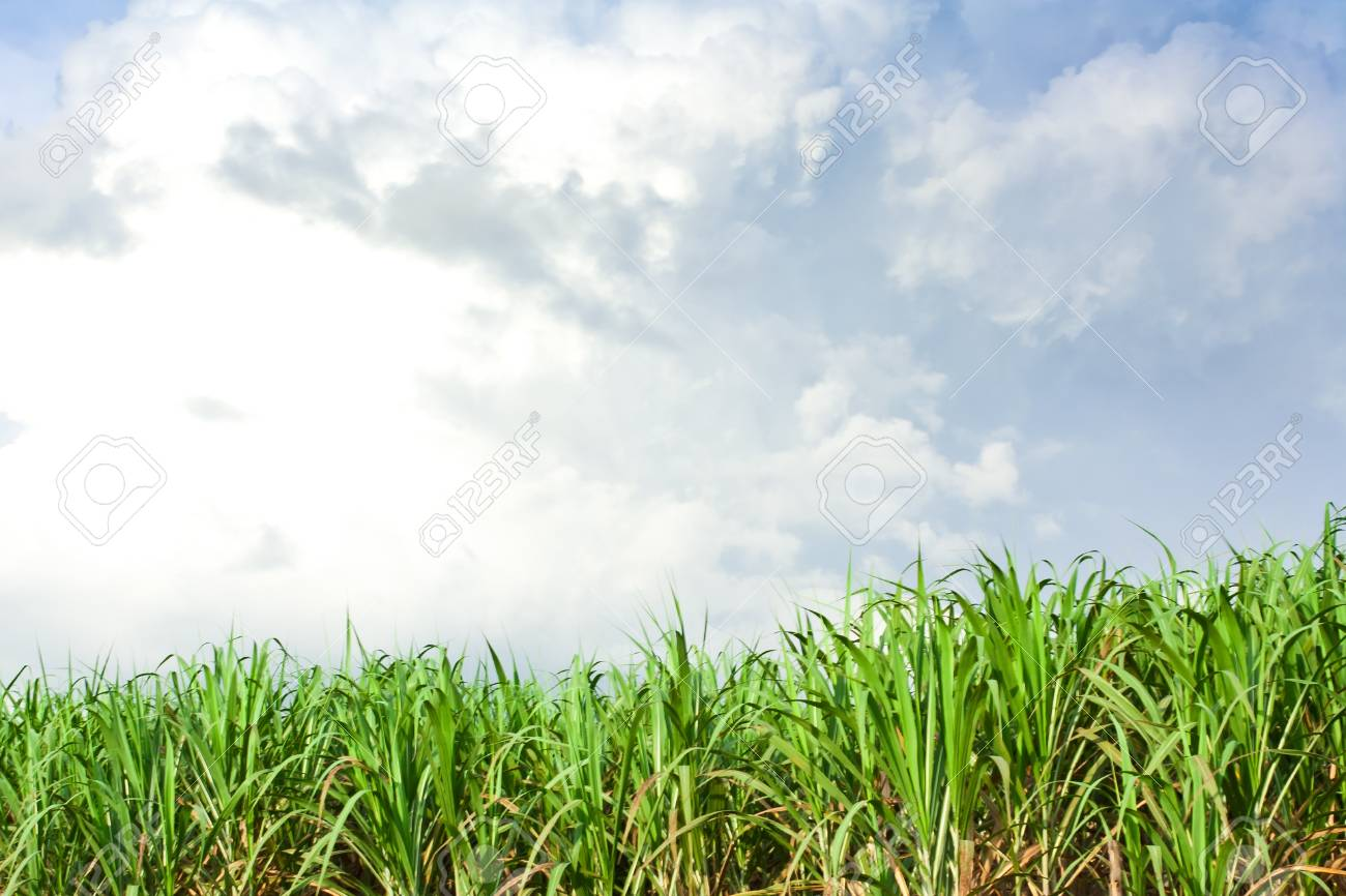 Sugarcane field in blue sky and white cloud in Thailand Stock Photo - 12661654