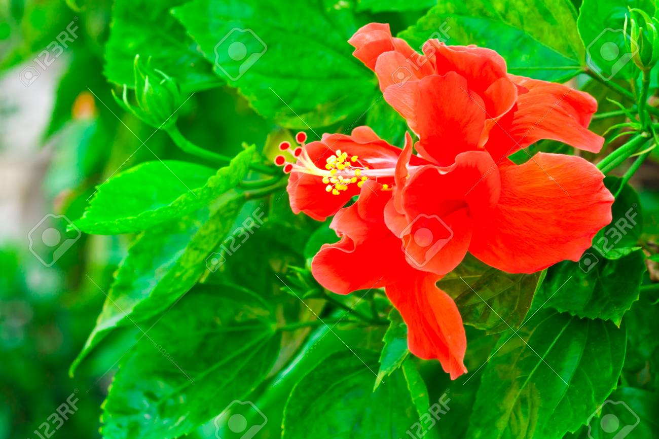Beautiful Red Hawaiian Hibiscus Flower On Green Background Stock