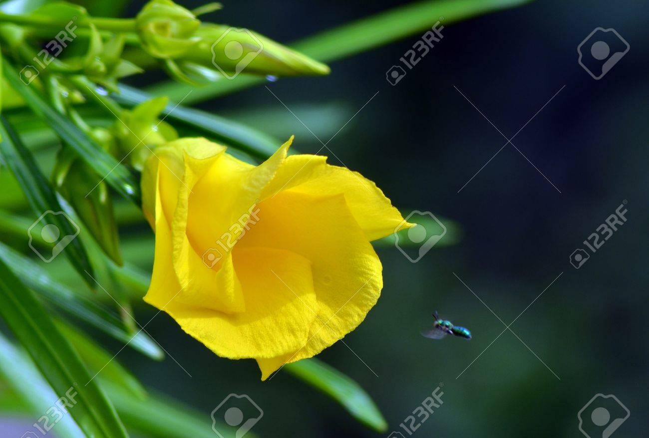Yellow Oleander Stock Photo - 19420434