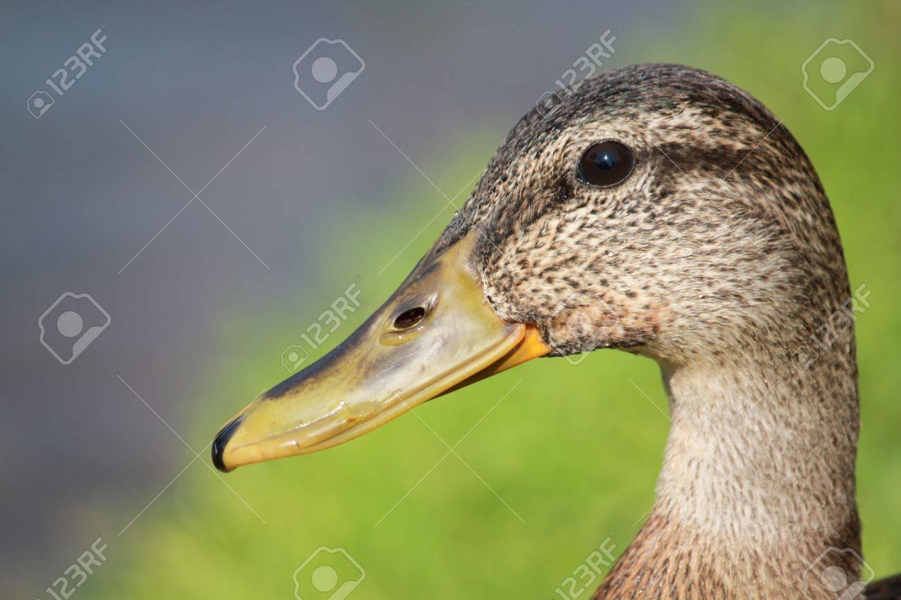 Head of duck Stock Photo - 7602650