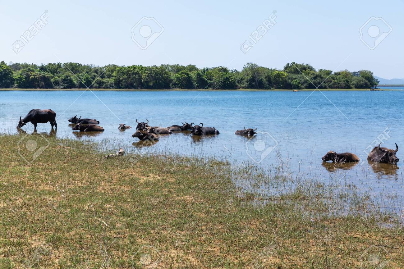 Wild buffaloes escape from the heat in the lake in Udawalawe National Park of Sri Lanka - 144233528