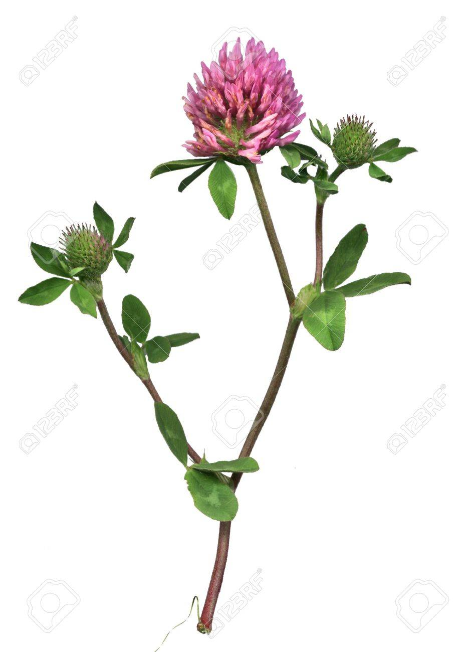 Red clover of the meadow Stock Photo - 262574