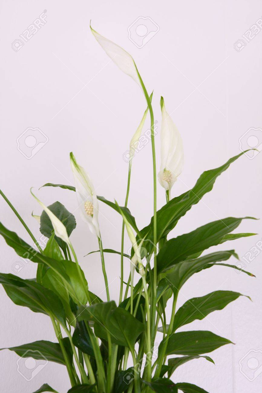 Peace lily flower against a white background stock photo picture peace lily flower against a white background stock photo 3461328 izmirmasajfo