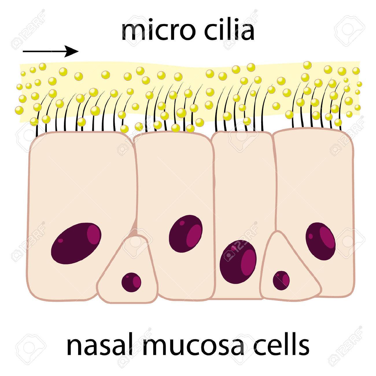 Nasal mucosa cells and micro cilia vector scheme - 30928178