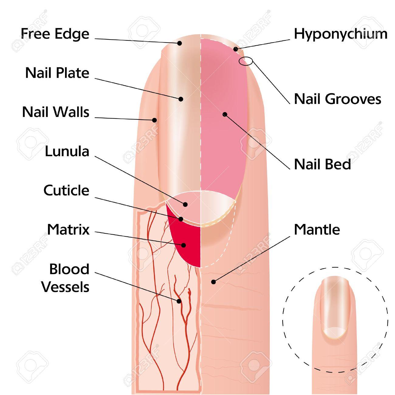 Vistoso Diagrama De Uña Patrón - Anatomía de Las Imágenesdel Cuerpo ...