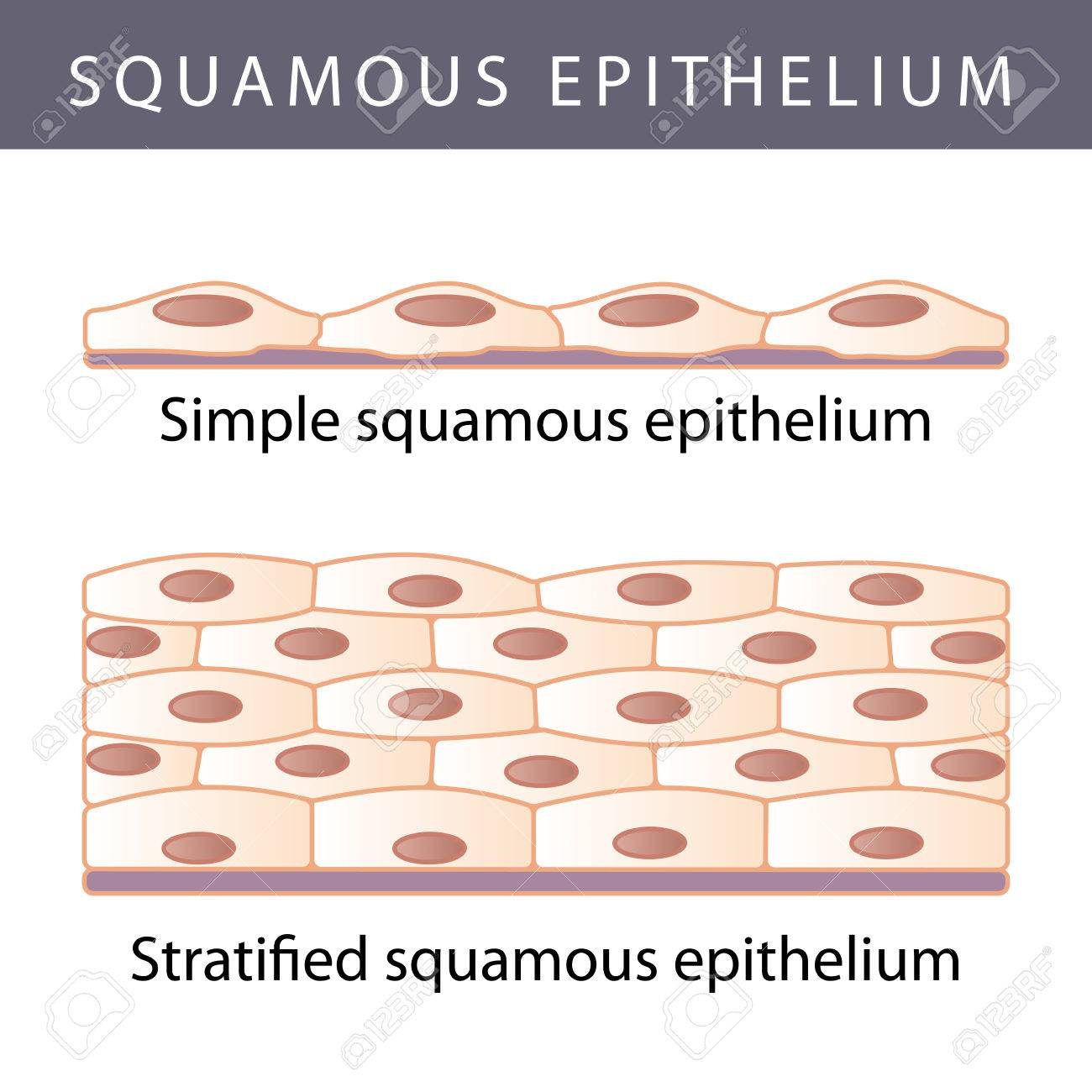 Medical illustration of the Different Epithelium Structure Types - 44765192