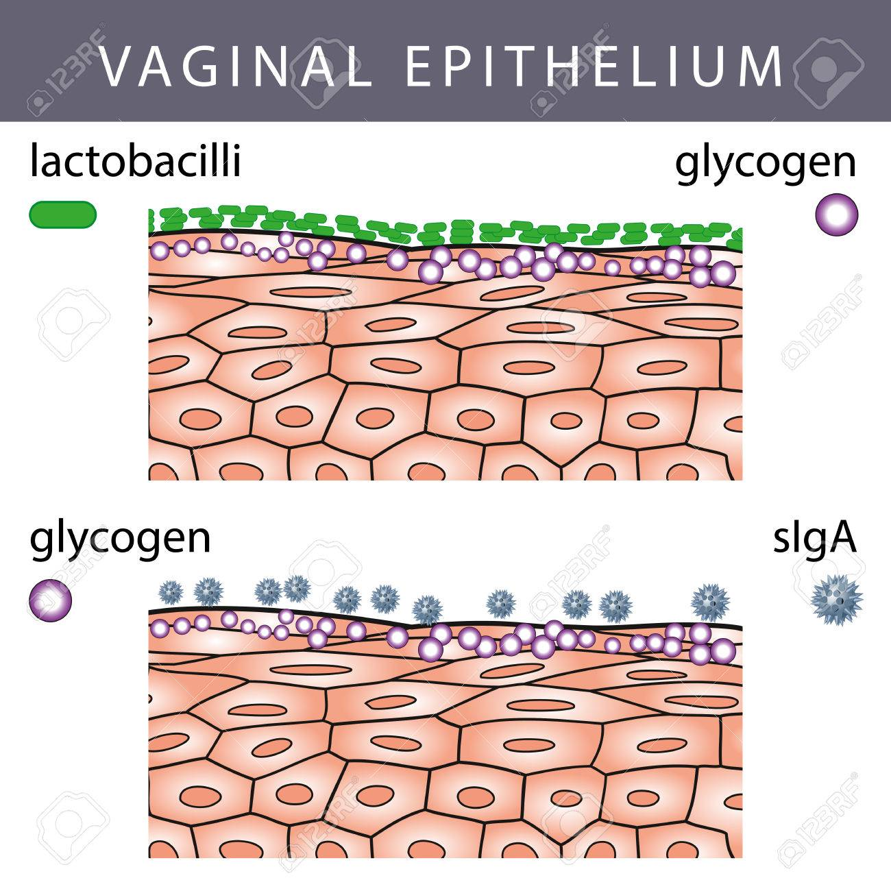 Medical illustration of Vaginal Epithelium Structure with Lactobacilli on the Surface and Glycogen molecules - 44765193