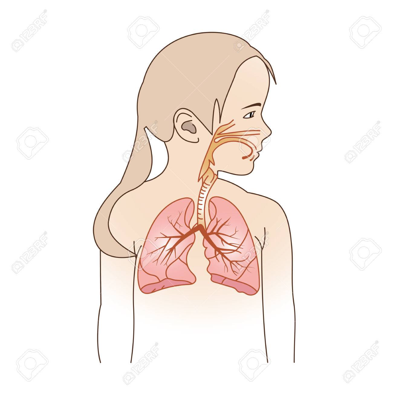 Ilustración Vectorial De Un Niño Del Sistema Respiratorio Órganos ...
