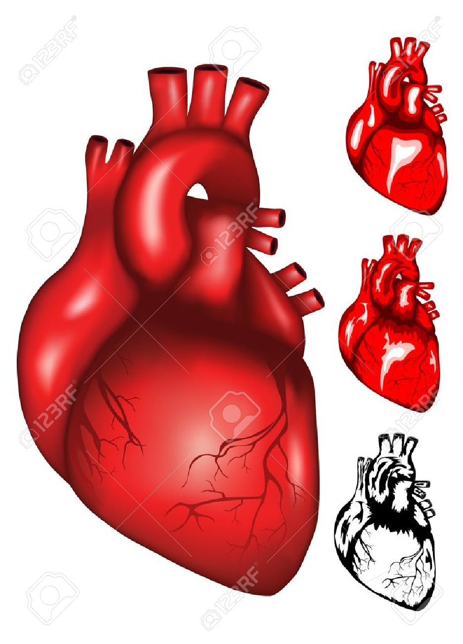 Human Heart Vector Image Vector Illustration of Human