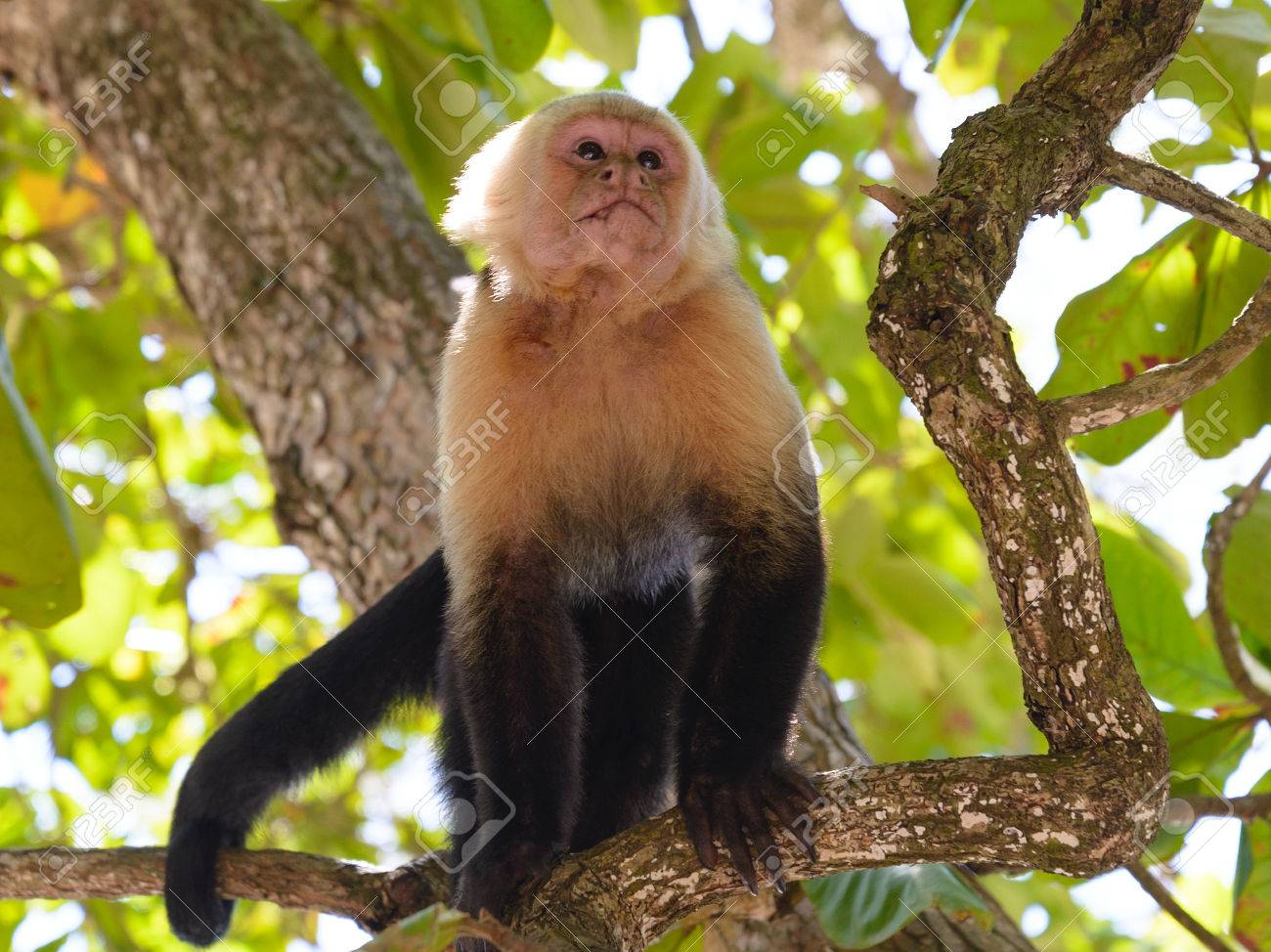 Capuchin Monkey In The Trees Stock Photo, Picture And