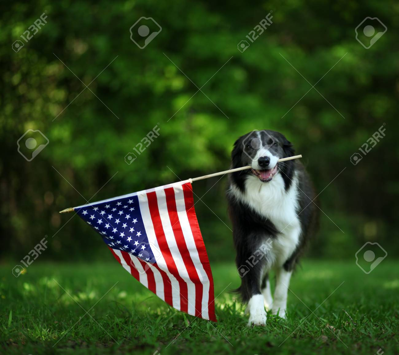 Happy border collie carrying USA flag - 99821867
