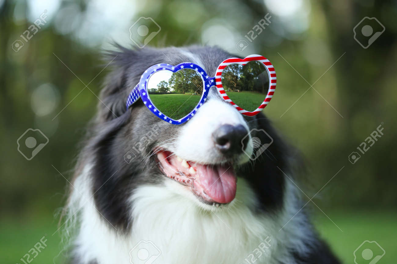 Border collie dog wearing heart shaped American flag sunglasses for 4th of July - 170507189