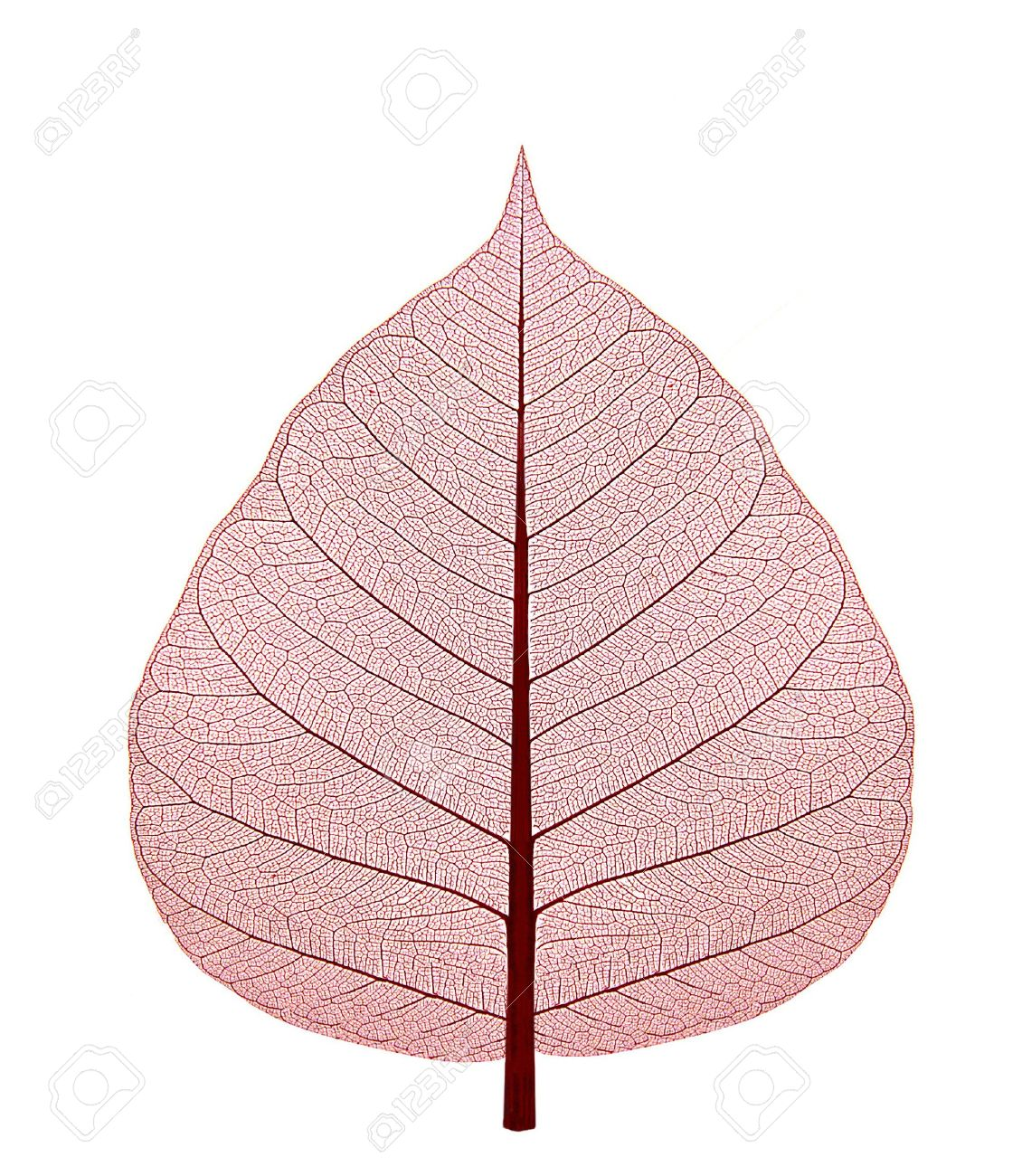 Dried up leaf with red shade on a white background Stock Photo - 7813510