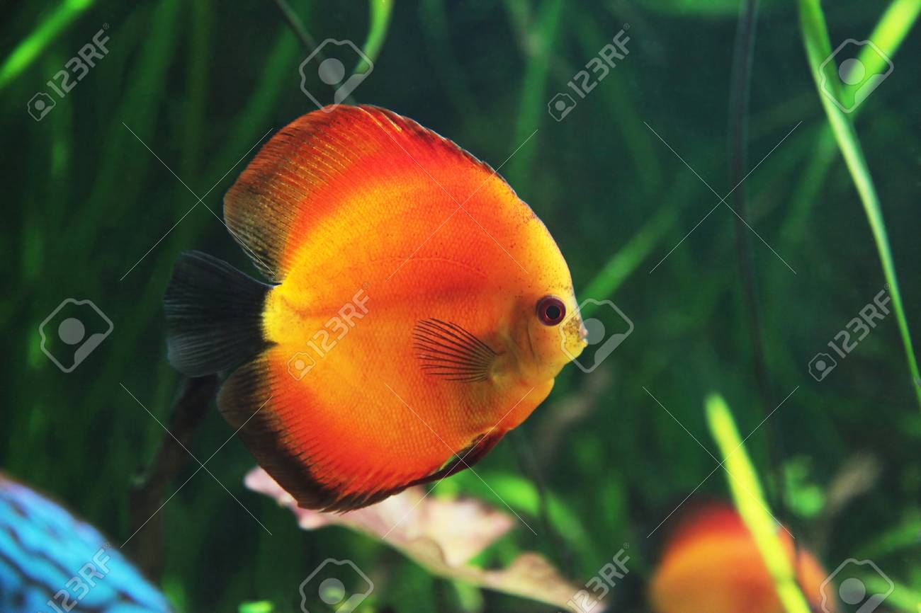 bright tropical fishes in an aquarium among algas Stock Photo - 14894153