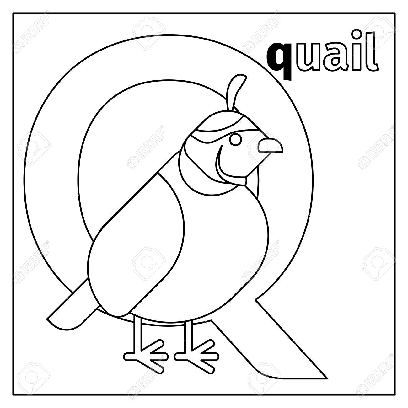 Dibujo Para Colorear O Tarjeta Para Los Niños Con Alfabeto Inglés Animales Del Zoo Codornices Ilustración Vectorial Letra Q