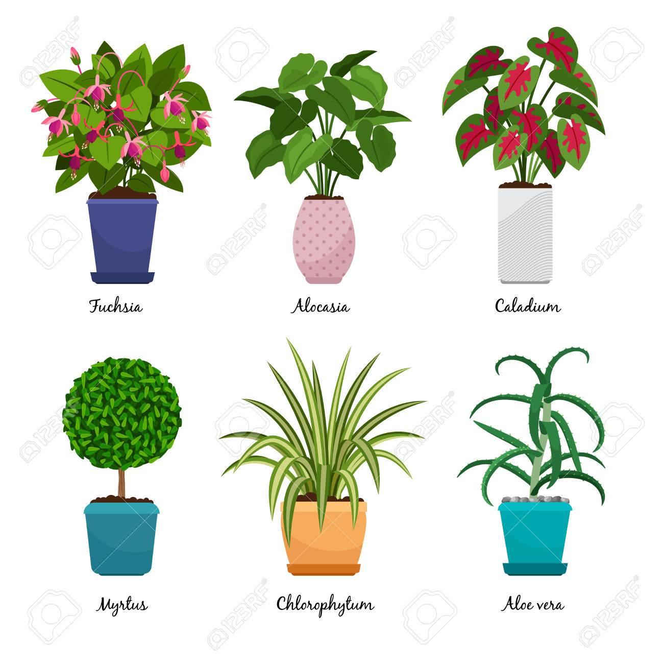 Plantes D Intérieur De Dessin Animé Isolés Sur Fond Blanc Plantes D Intérieur Décoratives En Pots Vector Illustration Fuchsia Et Myrtus Aloe Vera
