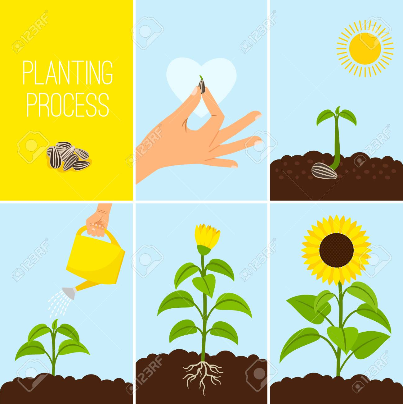 Flower planting process vector illustration. Planting a seed watering. Growing and blooming sunflower - 88063522