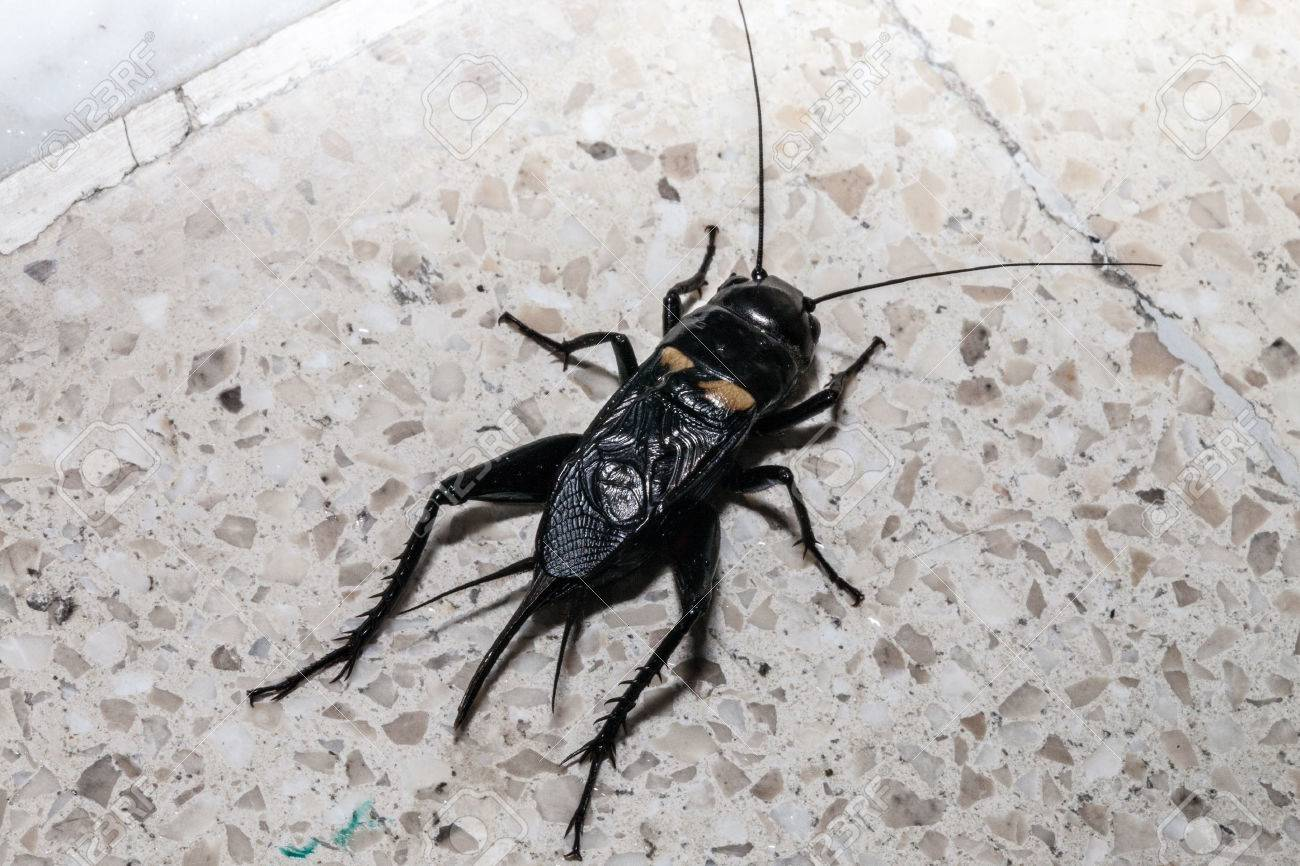 African Beetle, Urban Cockroach Which Lives In Dirty Kitchen Stock ...
