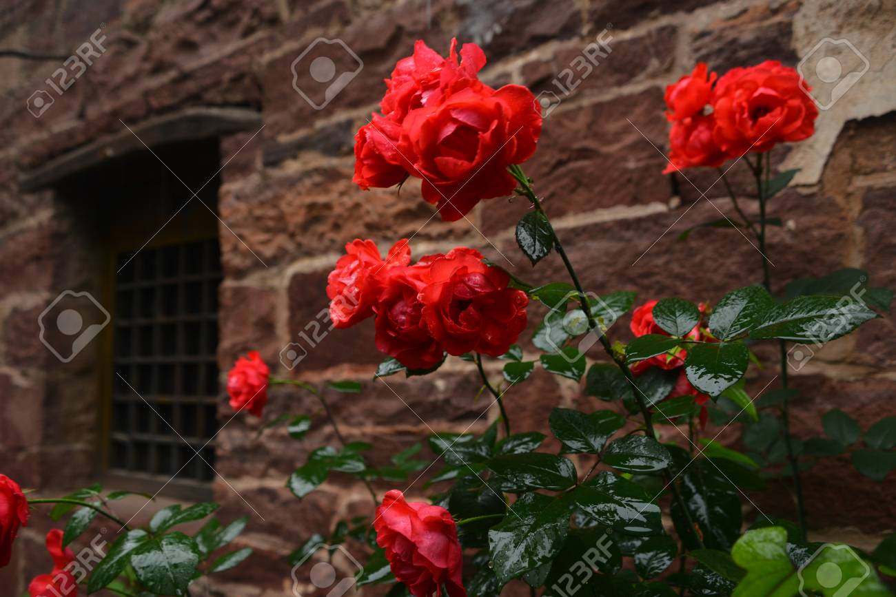 Chinese Rose In A Farmyard Stock Photo, Picture And Royalty Free ...