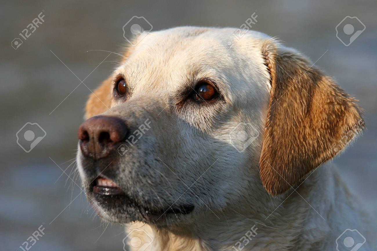 labrador retriever with wet coat looks on Stock Photo - 667859