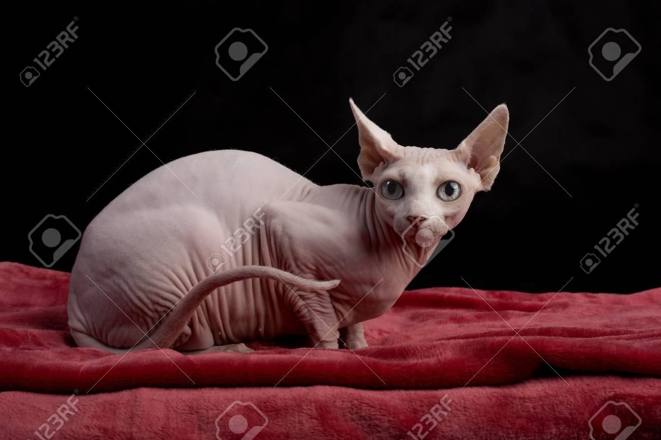 fotografie plešatý kočička
