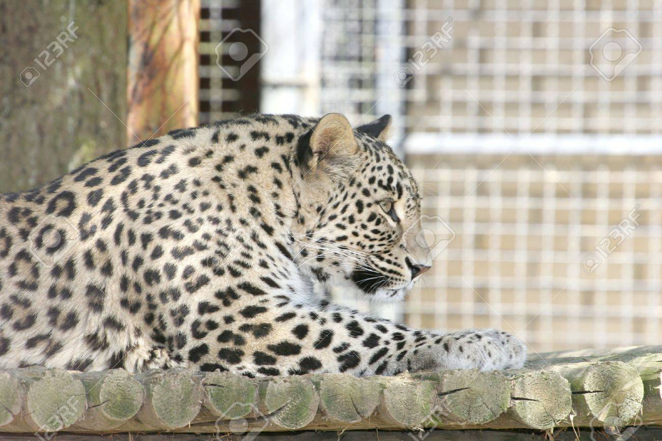 Leopard Stock Photo - 2649865