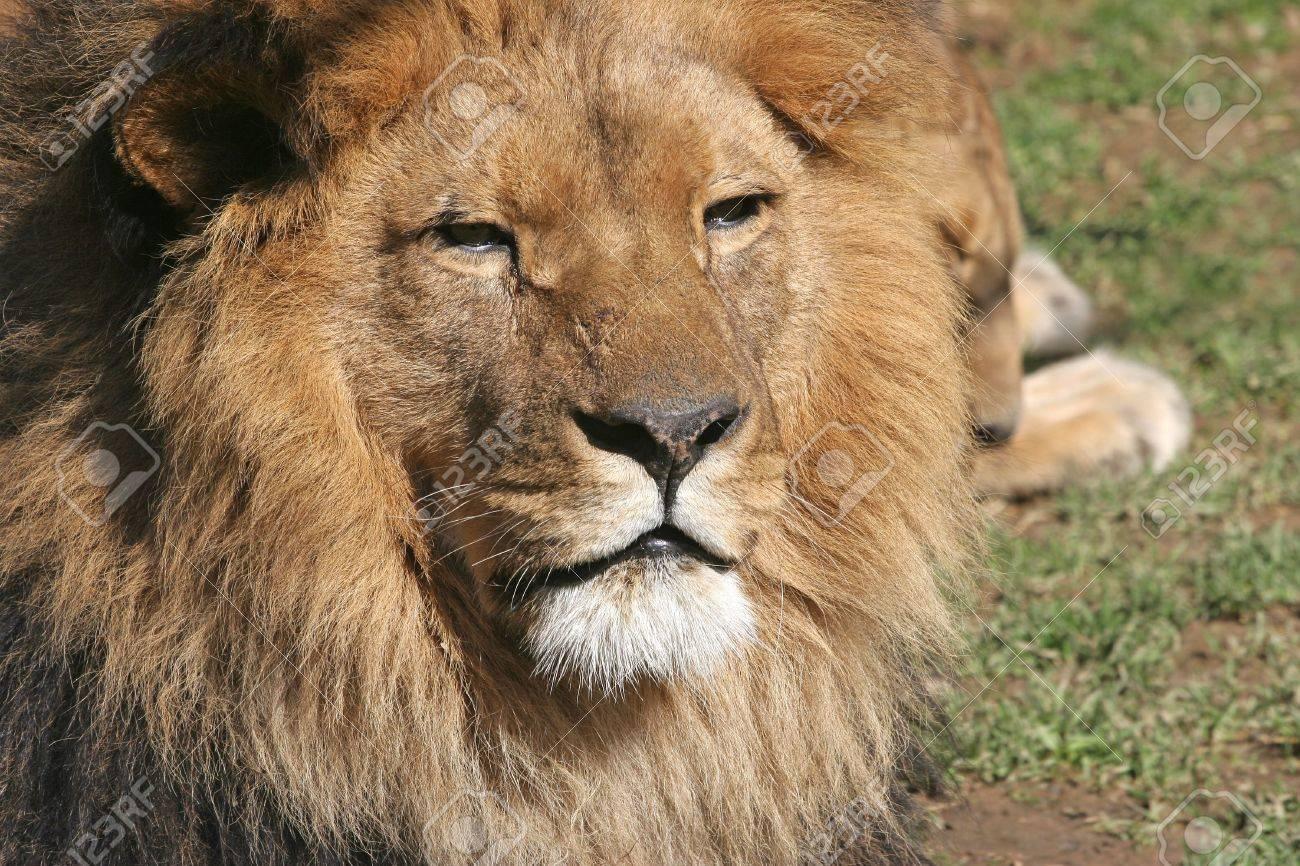 Lion Standard-Bild - 2733279