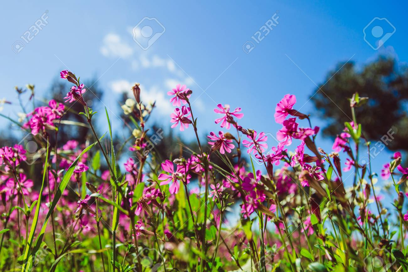 Fields Of Pink Flowers In The Sun Stock Photo Picture And Royalty