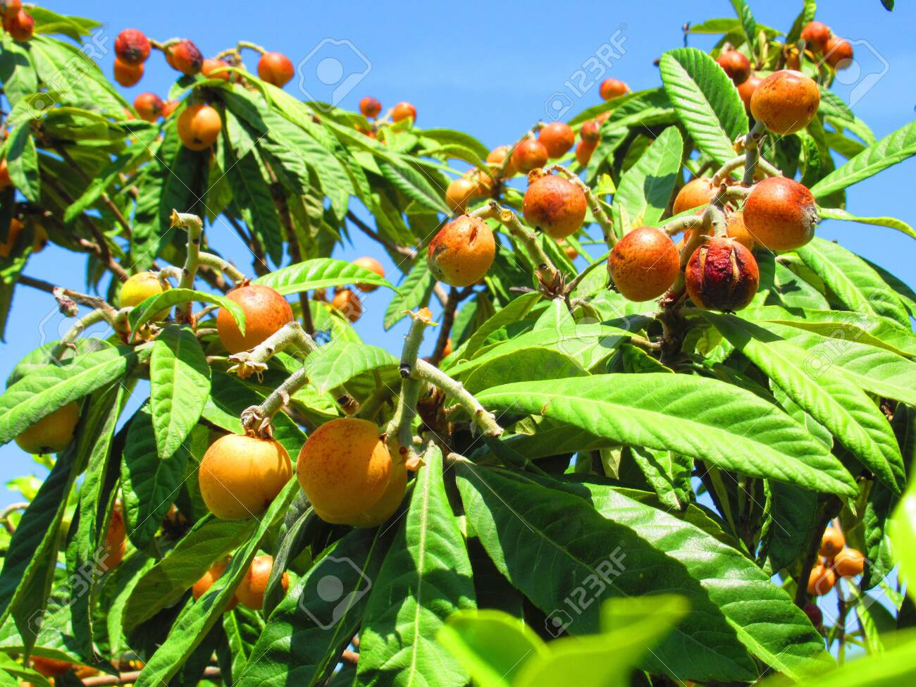 Fruit Bearing Tree In Corinth Greece Stock Photo Picture And