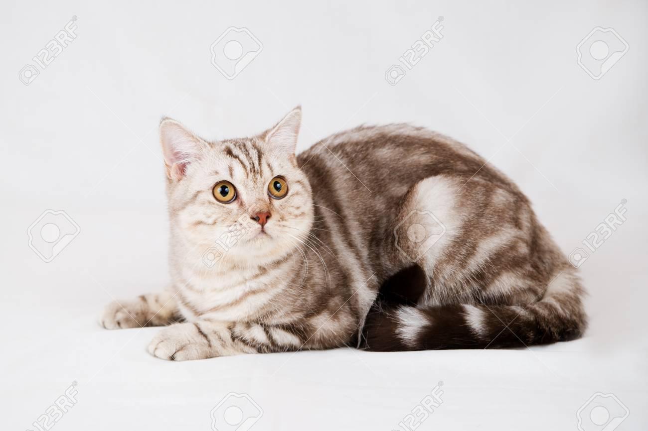 Immagini Stock Gatto British Shorthair Su Sfondo Bianco Pet In