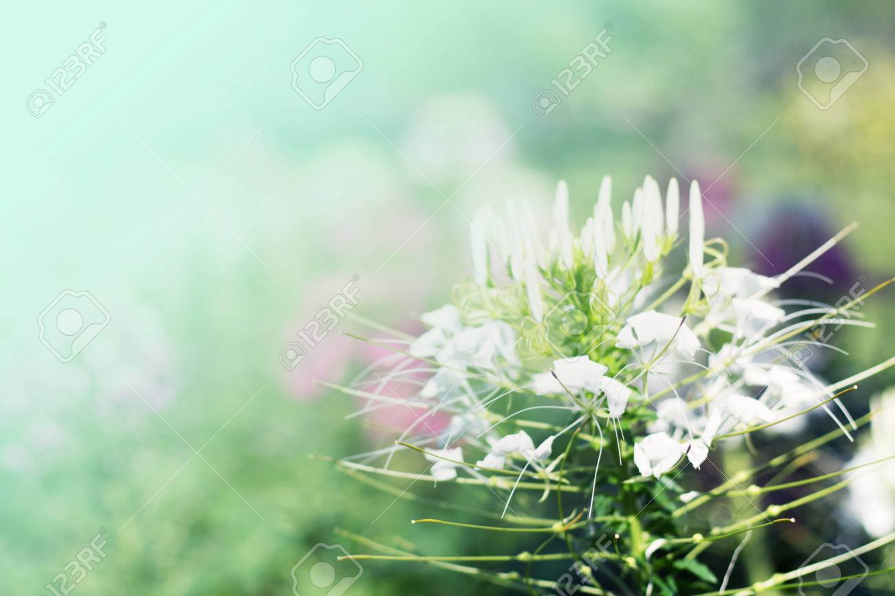White flowers with bokeh of backgrounds stock photo picture and stock photo white flowers with bokeh of backgrounds mightylinksfo