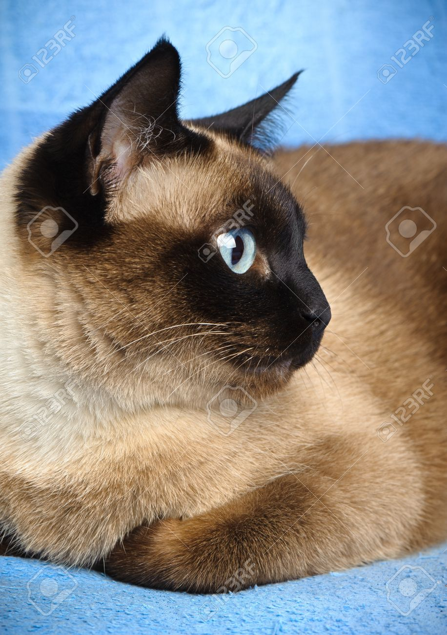 close up of cute blue-eyed siamese cat Stock Photo - 10854188