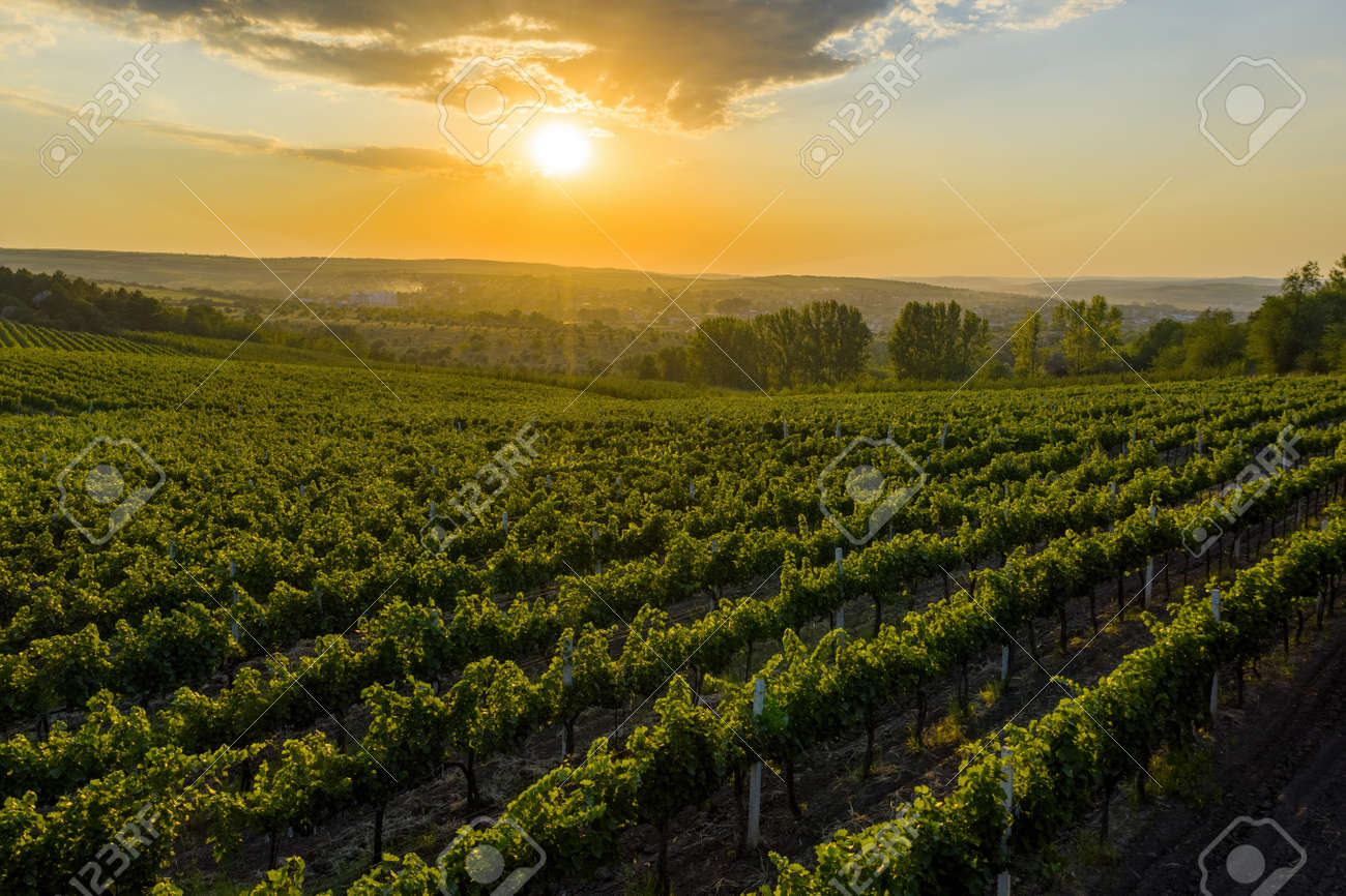 Beautiful sunset over green hills with cultivated vines, Cricova, Moldova - 168714573