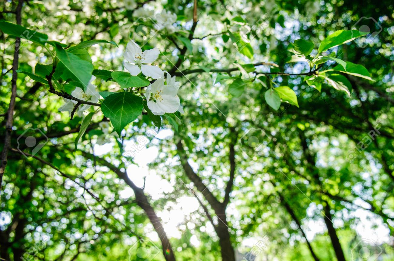 Apple Tree In Full Blossom With White And Pink Flowers In June Stock
