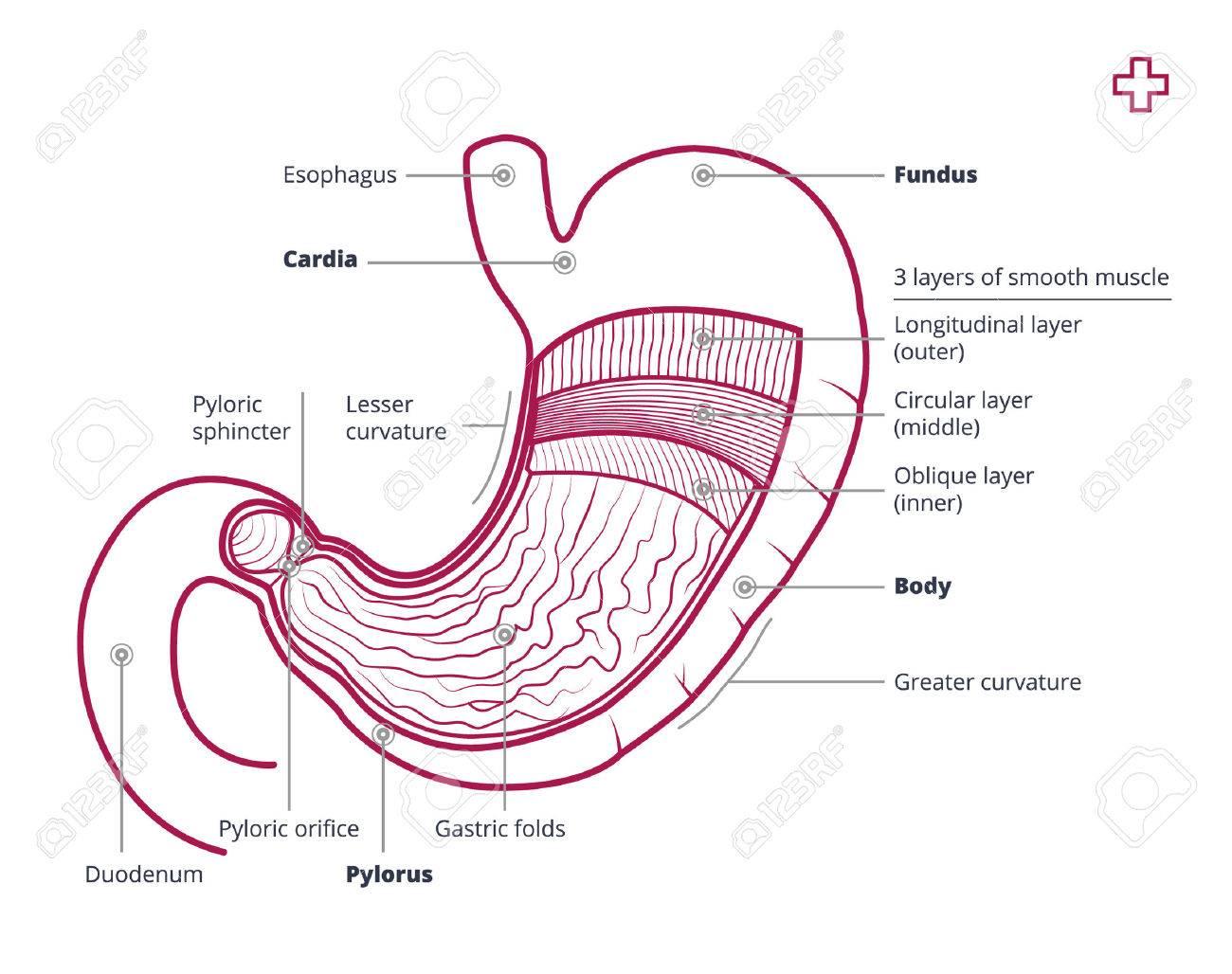 Bonito Diagrama De Vientre Foto - Anatomía de Las Imágenesdel Cuerpo ...