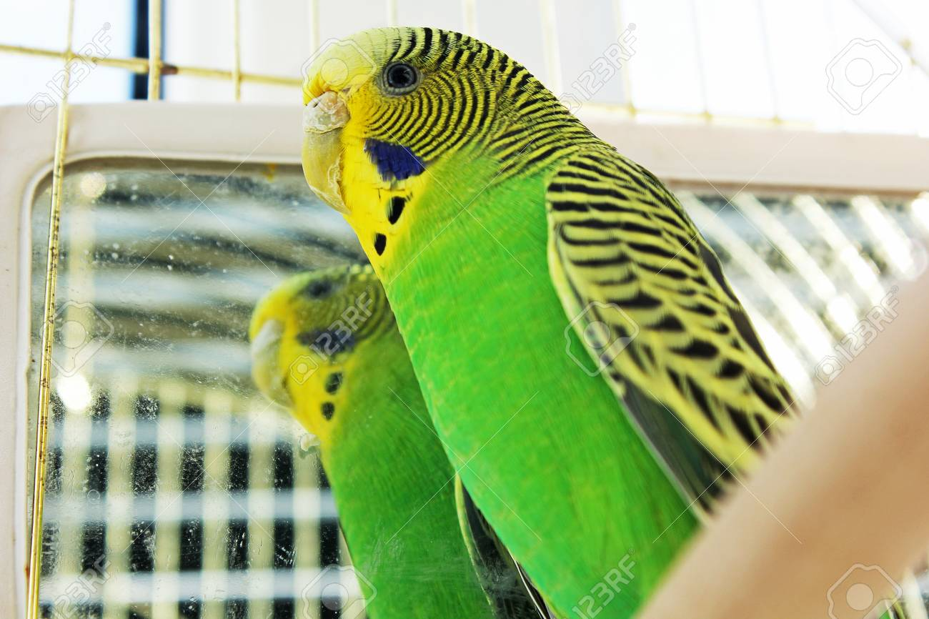 a parrot a wavy parrot in green color stock photo picture and