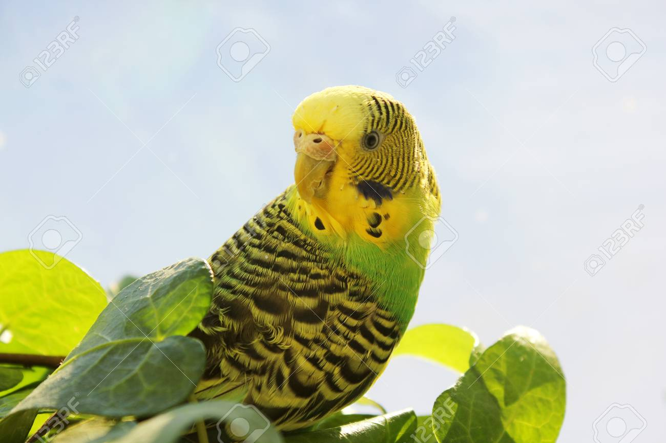 What is interesting wavy parrots, how to determine the age and gender 58