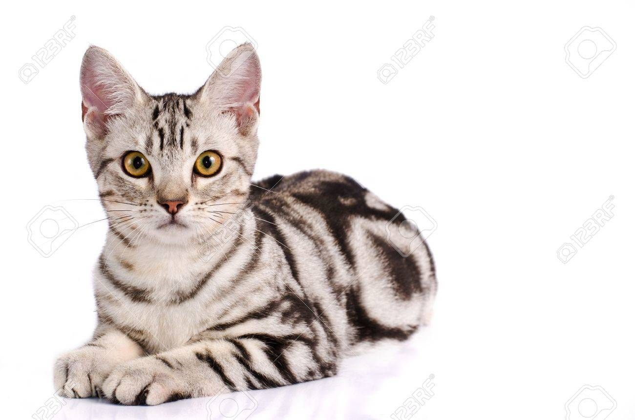 american shorthair cat in white background stock photo picture and