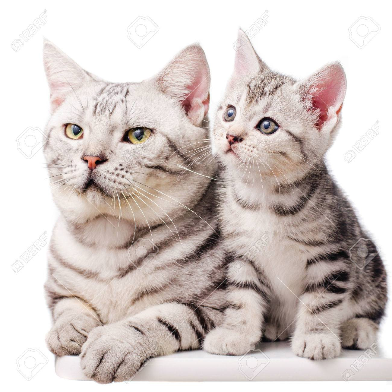 american shorthair kitten sitting with father cat stock photo