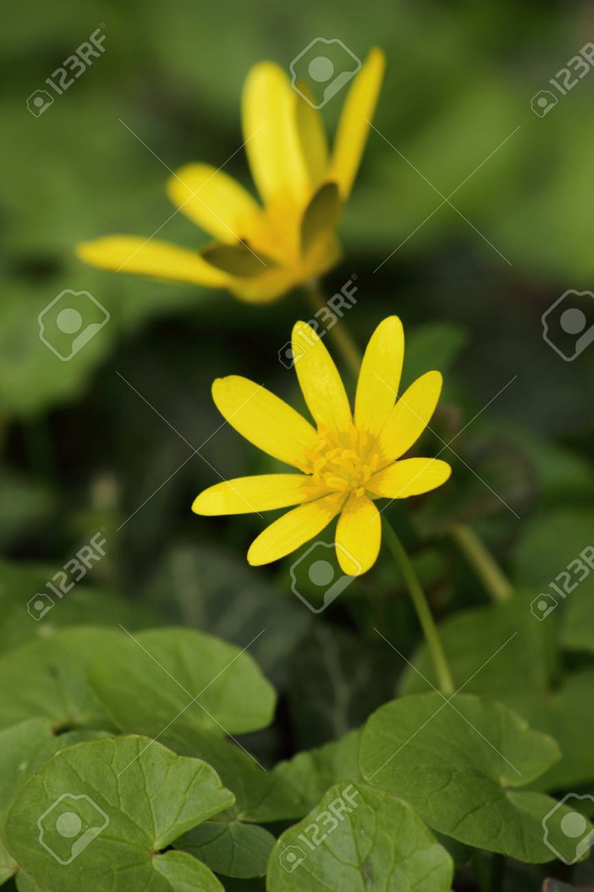 Yellow Wild Flowers In Spring Stock Photo Picture And Royalty Free