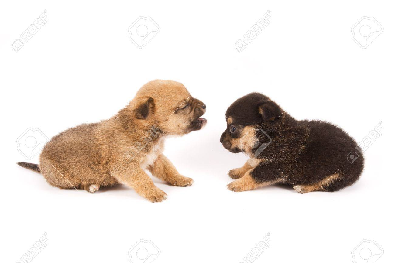 Two Expressive Puppies Playing On A White Background