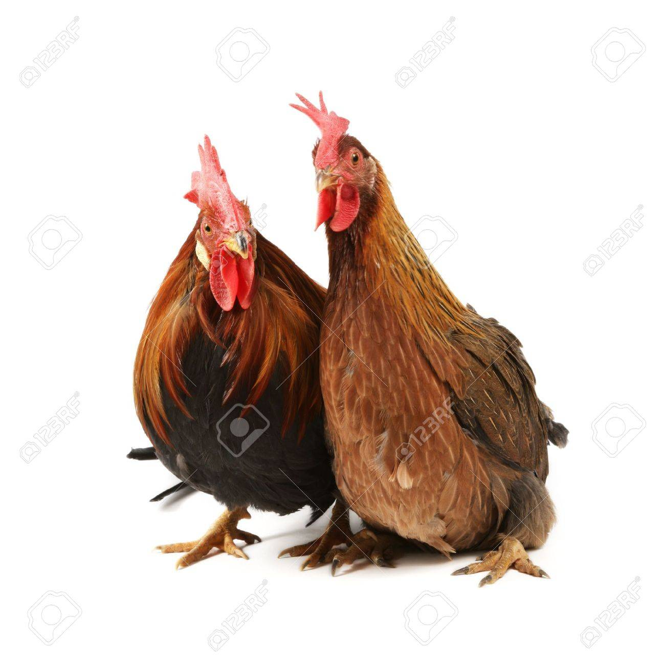 italian red rooster and hen isolated on a white background stock