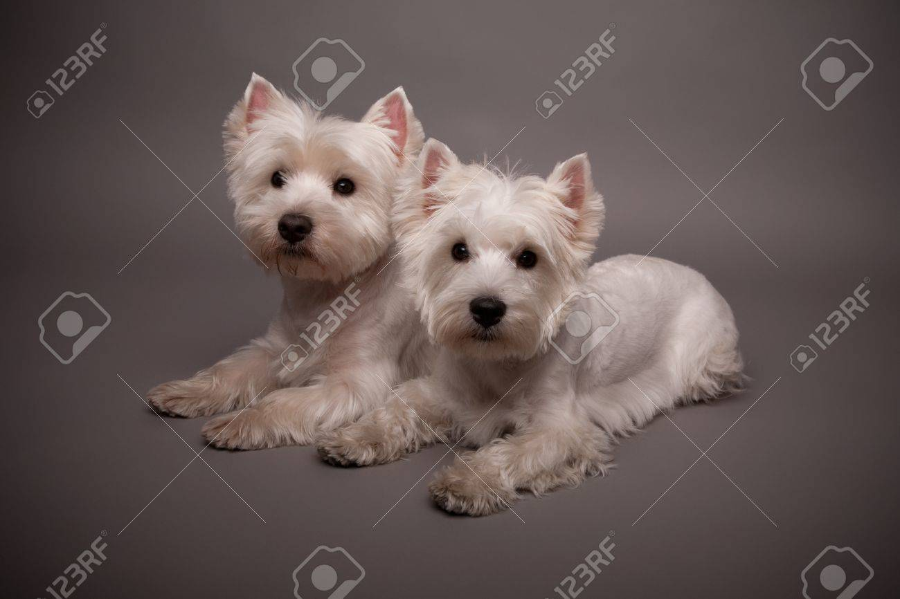 Two adorable West Highland Terrier (Westie) on a gray background Stock Photo - 13348182