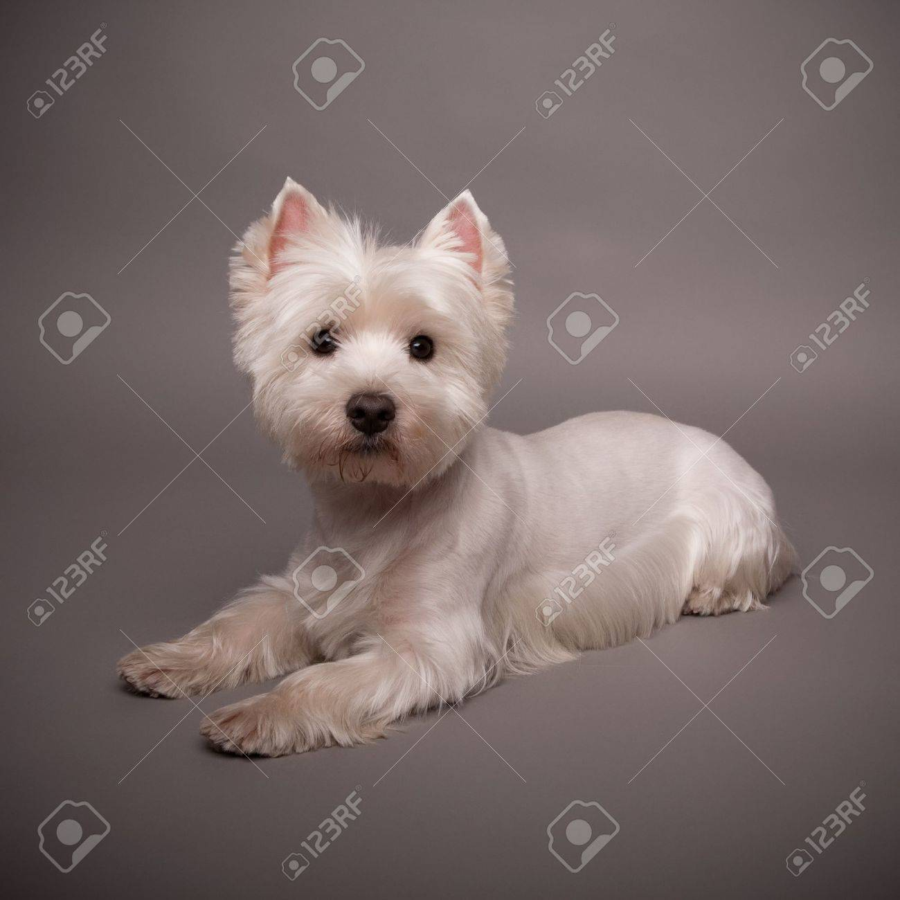 Adorable West Highland Terrier (Westie) on a gray background Stock Photo - 13348074