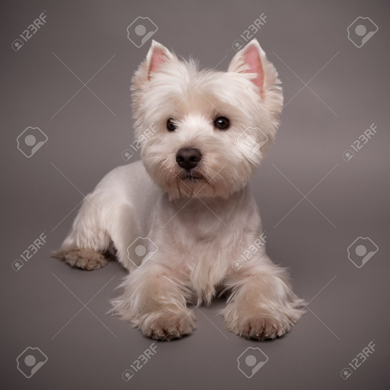 Adorable West Highland Terrier (Westie) on a gray background Stock Photo - 13348034