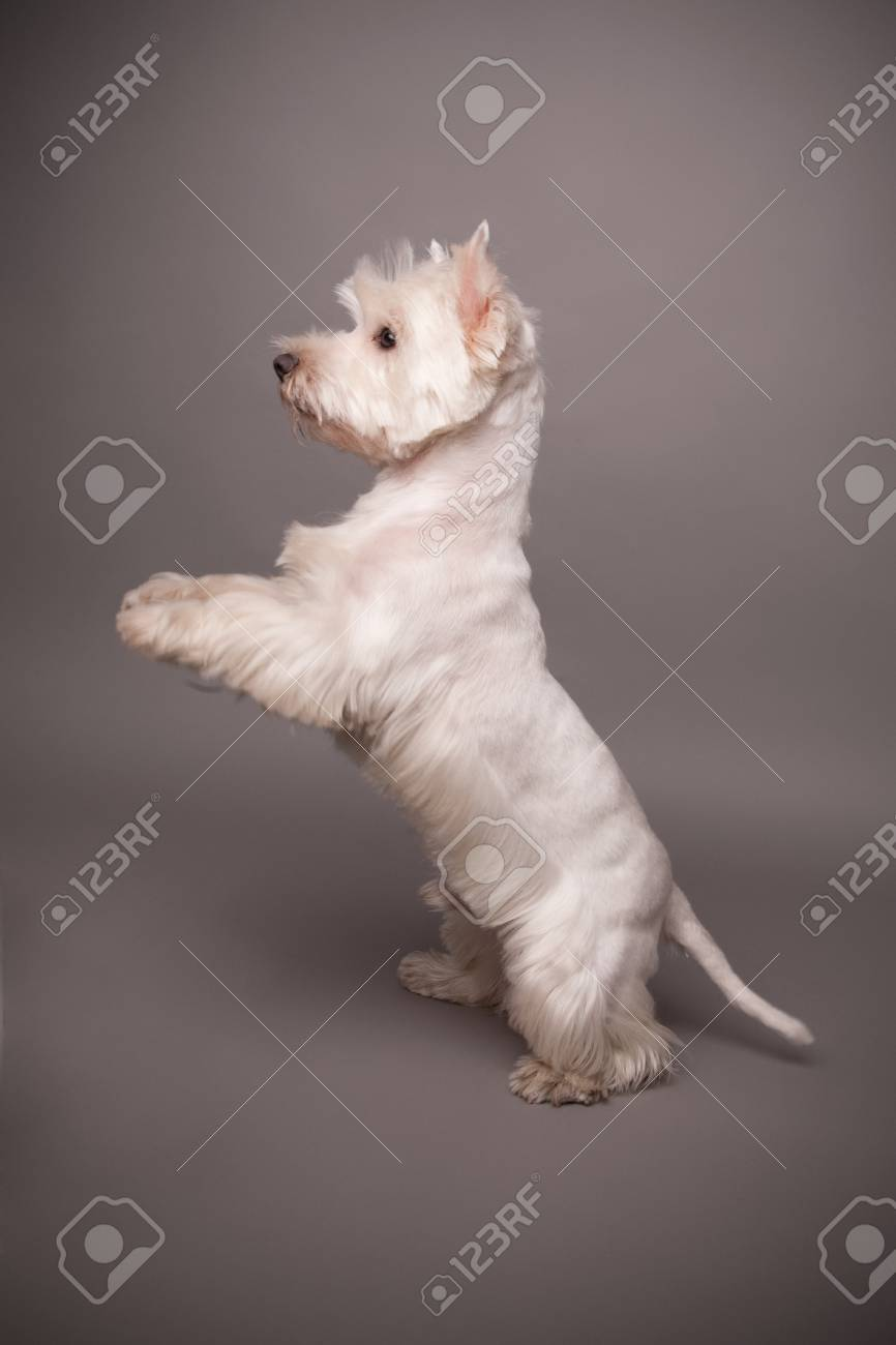 Adorable West Highland Terrier (Westie) on a gray background Stock Photo - 13347984